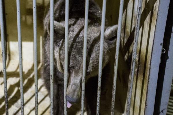 Пять медведей живут в гараже в Октябрьском районе