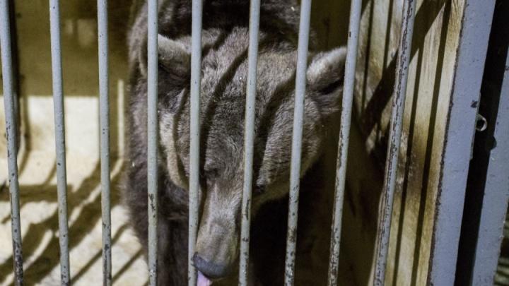 Уволенным из цирка медведям принесли 80 тысяч, капусту и мёд