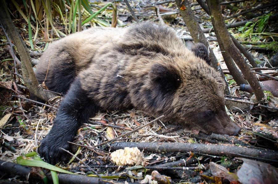 Агрессивного медведя убили полицейские вЕнисейске