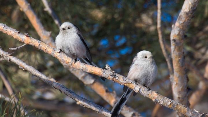 В Новосибирске заметили маленькую пушистую птицу с длинным хвостом
