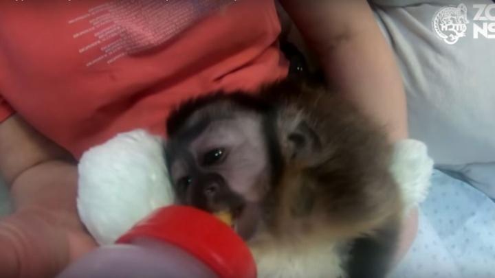 Видео: в зоопарке сняли милый ролик с кормлением новорожденного капуцина