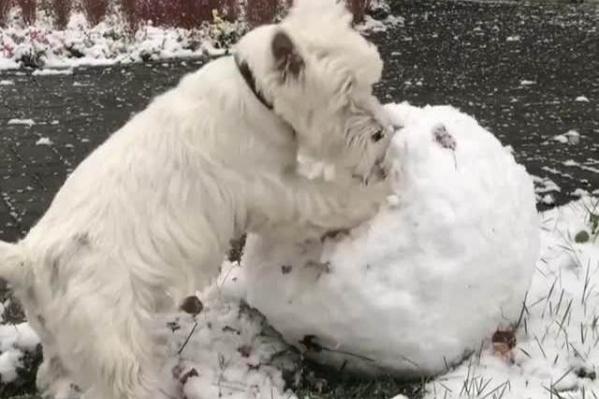 Пёс Перчик разрушает снежный ком