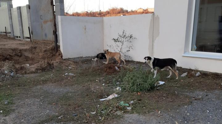 """«Можем стать """"Собачьей долиной""""»: новый микрорайон Волгограда терроризирует стая бродячих псов"""