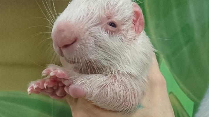 Розовый нос и снежные иголочки: в Екатеринбурге в научном зоопарке родился абсолютно белый дикобраз