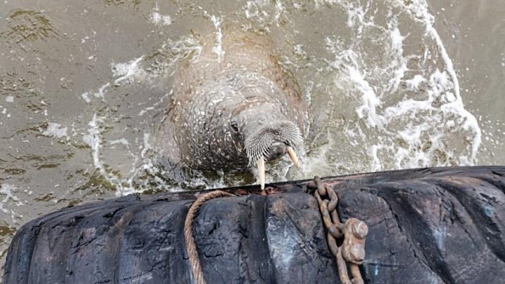 Команда красноярского теплохода засняла моржа, вплотную подплывшего к судну. Видео