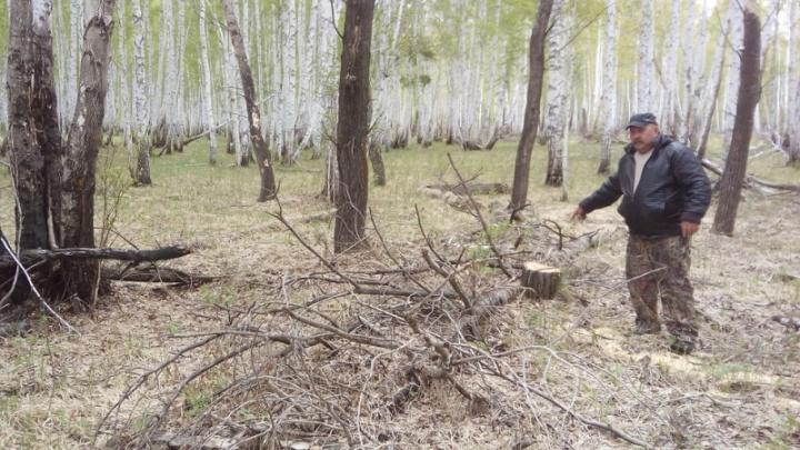 Незаконно спиленные в Зауралье березы продавали в Тюменской области. «Черных лесорубов» ждет суд