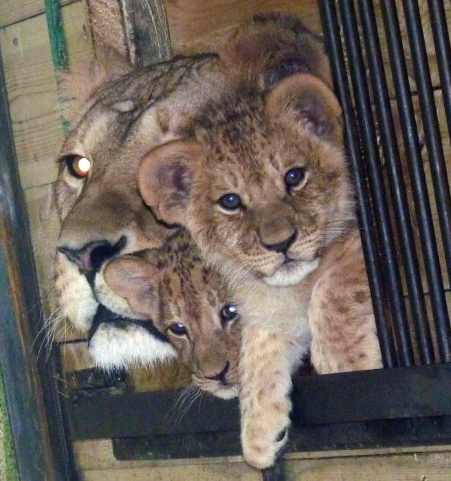 ВБольшереченском зоопарке 2-х львят обменяли наверблюда Мишу