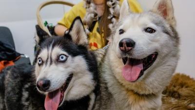 Сонный чихуа-хуа и озорные хаски: фоторепортаж с выставки собак в Перми