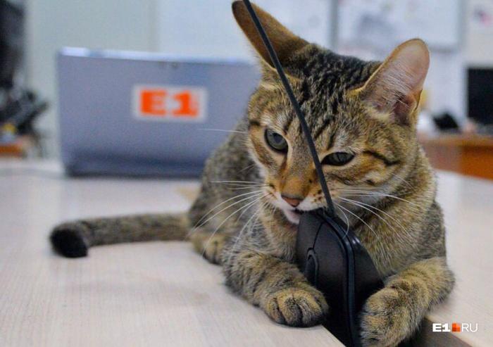Редакционная кошка Сяма любит поесть