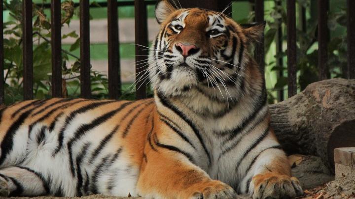 В Екатеринбургский зоопарк привезли робкую амурскую тигрицу по кличке Джуна