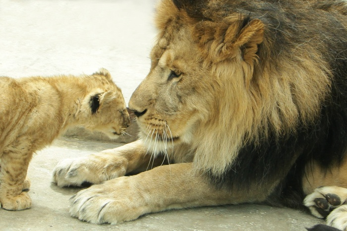 Лев Эрни с одним из своих детенышей