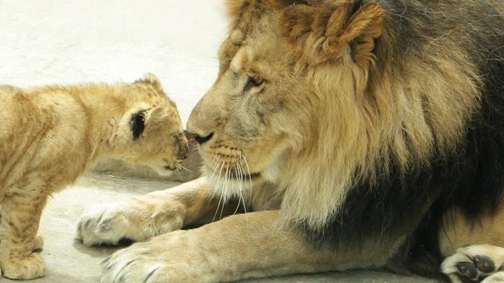 Два сыночка и лапочка-дочка: в Екатеринбургском зоопарке у львов родились детеныши