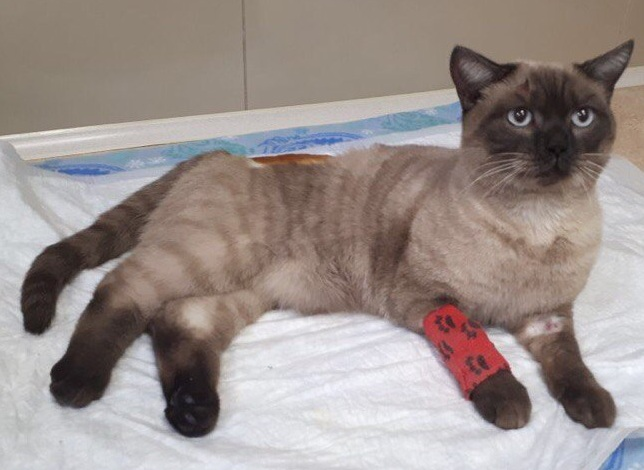 Волонтёры назвали кота Далаем, они не сомневаются, что он домашний