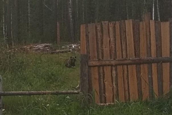 В Лесосибирске два медведя вышли к людям