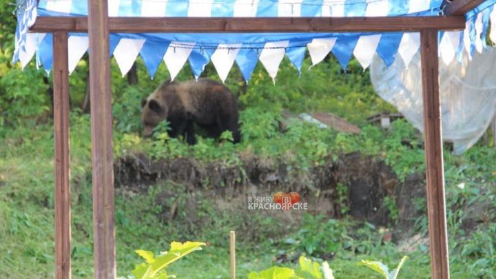 Медведь разгуливал по детской площадке и после бросился на полицейских в Северо-Енисейском