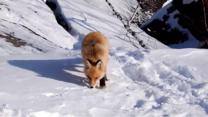 Хитрая лиса выследила туристов на «Столбах» и выпросила угощение
