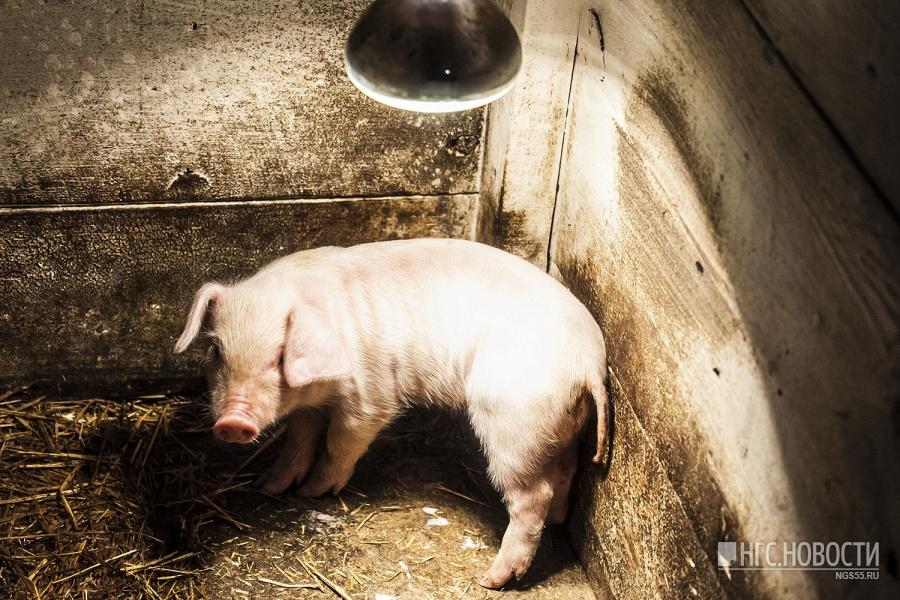 Советник руководителя  Россельхознадзора обвинил фермеров Омской области всокрытии чумы свиней