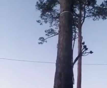 Электрический кабель разместился на сосне между домами