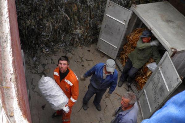 Водоросли, добытые в Белом море, комбинат использует для производства агара