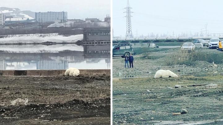 «Девочка летит в Красноярск»: дрессировщик Запашный — о судьбе вышедшего в Норильск белого мишки