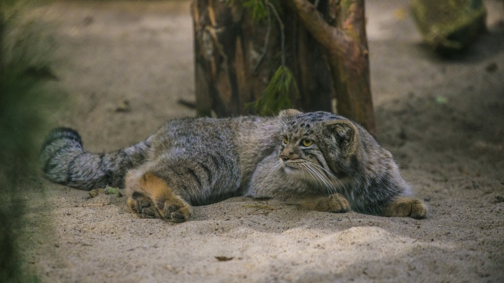 Котики улетают в сентябре: зоопарк отправил двух манулов в Германию