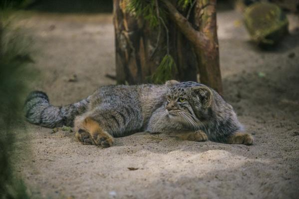 В зоопарк Дессау отправили двух самцов манула
