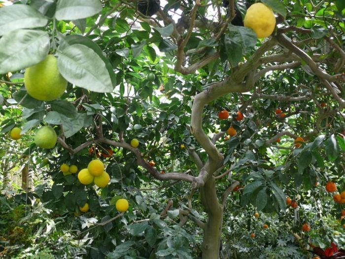 На «Дереве дружбы» одновременно растет несколько съедобных цитрусовых