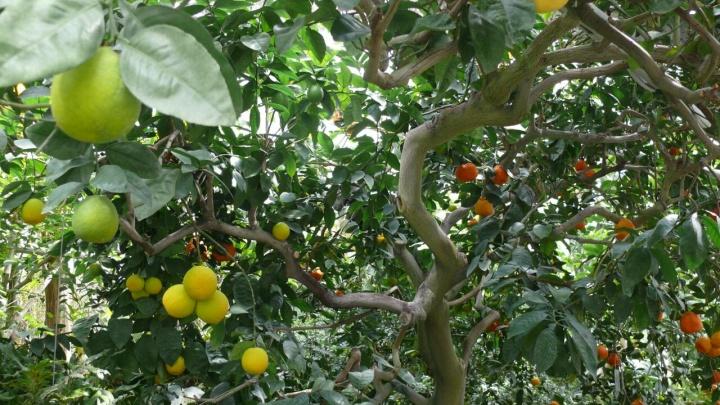 Новосибирские ботаники показали дерево с апельсинами и мандаринами на ветках