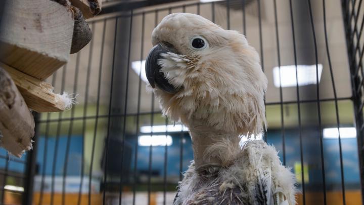 «Раз шизофреник, это не лечится»: почему в архангельском зоопарке детям показывают общипанных какаду