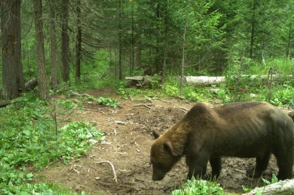Даже на летнем фото видно, что у медведя проглядывают ребра