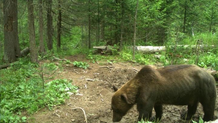 Медведи на «Столбах» легли в спячку изрядно истощенными. Они могут проснуться слишком рано