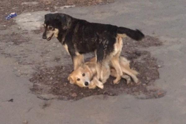 Собаки скулят возле дороги в Заволжском районе