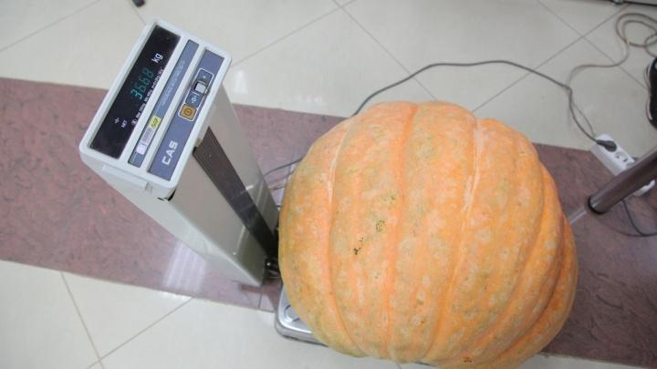 Тыкву весом почти 37 кг нашли в Красноярске
