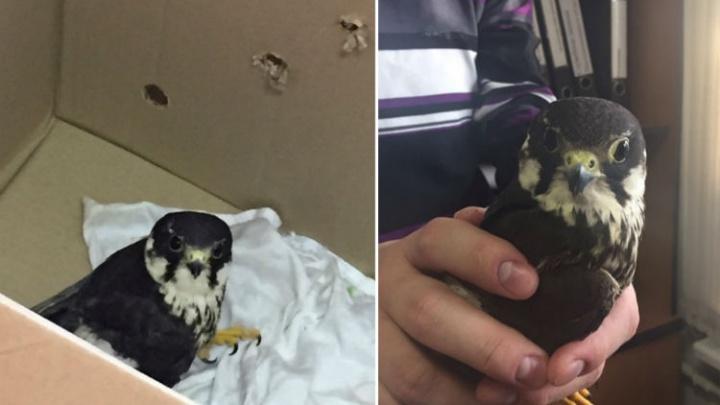 Из Уфы в Челябинск на лечение отправили сокола со сломанным крылом