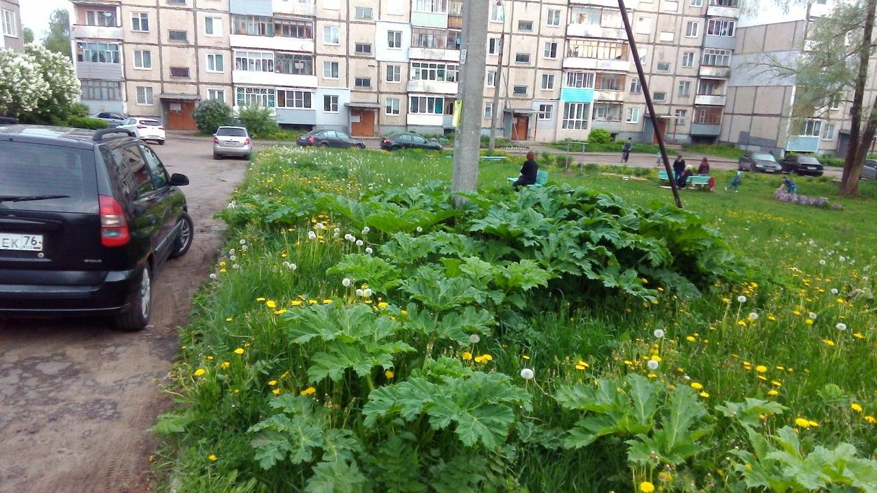 Ядовитый сорняк «залез» во двор, где играют дети