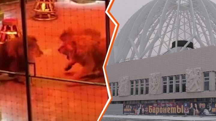 «Это два братика»: в цирке рассказали, что будет с двумя львами, которые напали на третьего