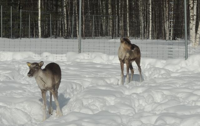 Ветлужка и Вишёнка. В Керженском заповеднике стало больше северных оленей