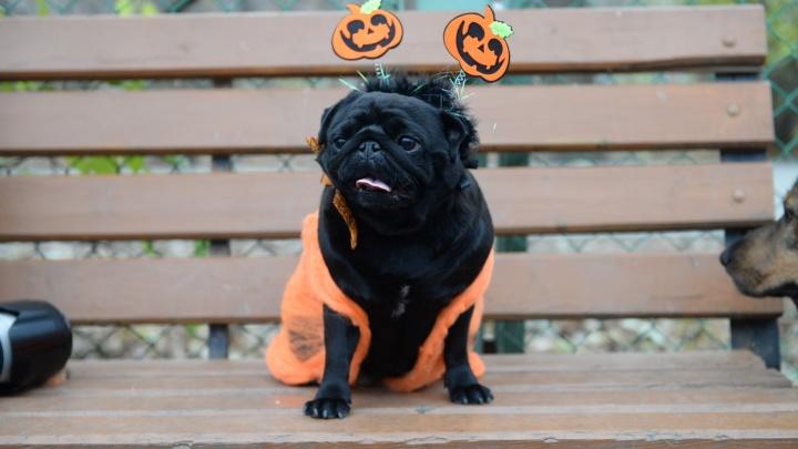 В Екатеринбурге владельцы мопсов устроили на Хеллоуин костюмированную вечеринку для своих собак