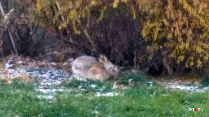 Пришёл за знаниями? Челябинцы заметили дикого зайца возле публичной библиотеки