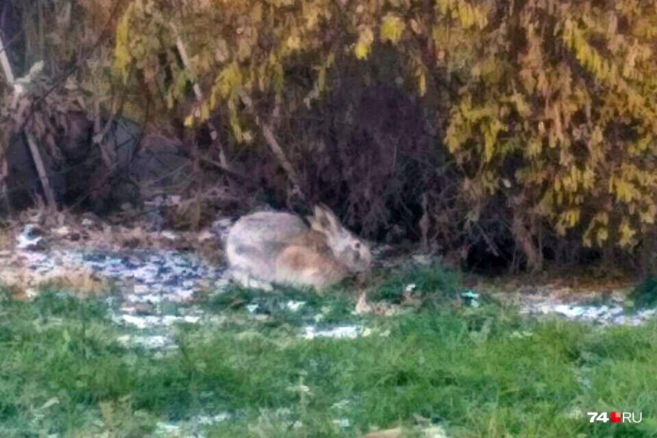 Из городского бора заяц добрался до центра Челябинска