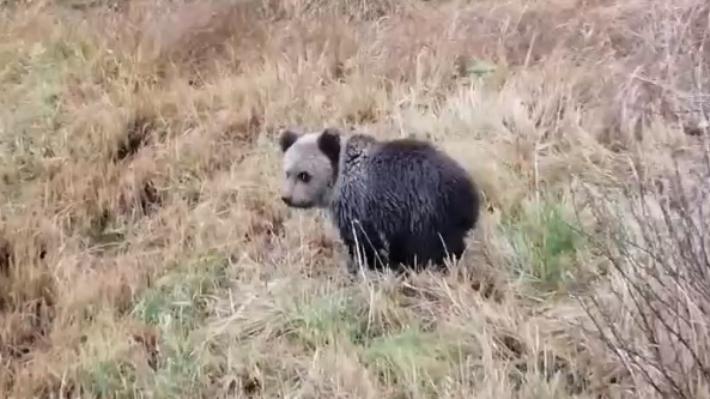 Мишку жалко: житель Онеги заснял у дома раненого медвежонка и попросил зоозащитников помочь