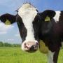 «Один из крупнейших в Сибири»: молочно-товарный комплекс в Тюменской области продолжил расти