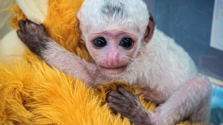 У обезьян-колобусов в «Роевом ручье» родилась очаровательная большеглазая малышка