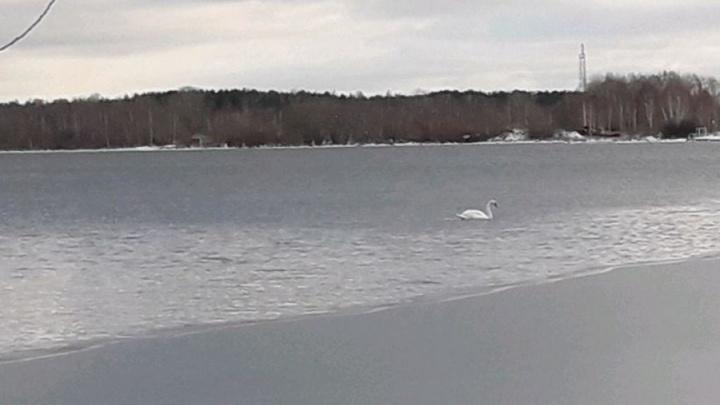 Одинокий лебедь, плававший на озере Шарташ, улетел в теплые края