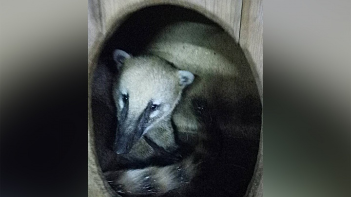 Носатый зверь уехал из Новосибирского зоопарка в Хакасию ради невесты