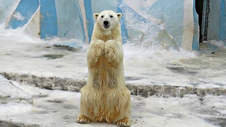 Белая медведица Герда научилась просить еду — на видео попало, как она и медвежата ели японские груши