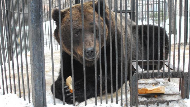 Почти не выходят гулять: новосибирские медведи и барсуки растолстели к зиме
