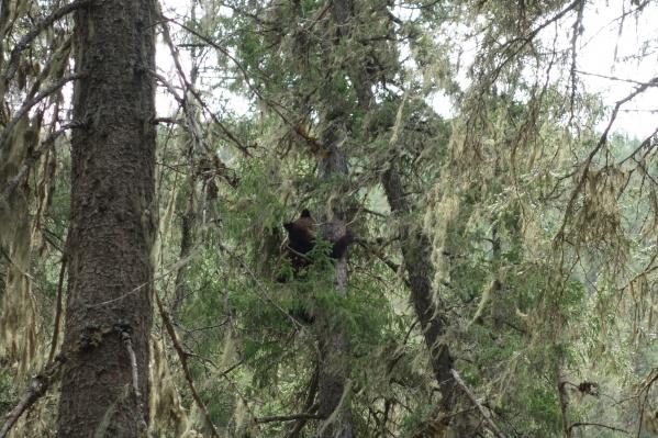 Двухлетние медвежата лазали по дереву в охранной зоне заповедника