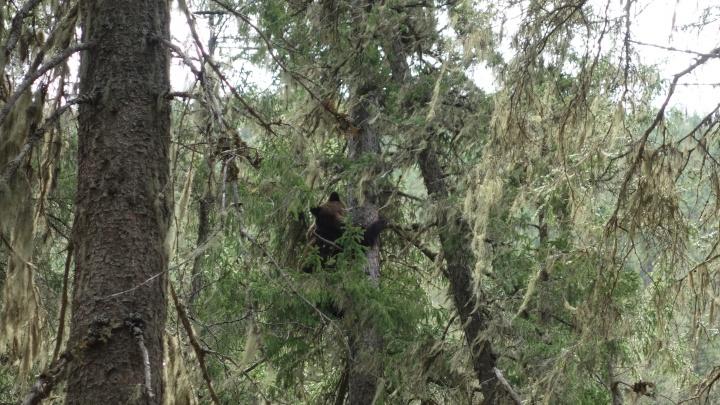 Молодой медведь вышел со «Столбов» к дачам на Торгашинском хребте