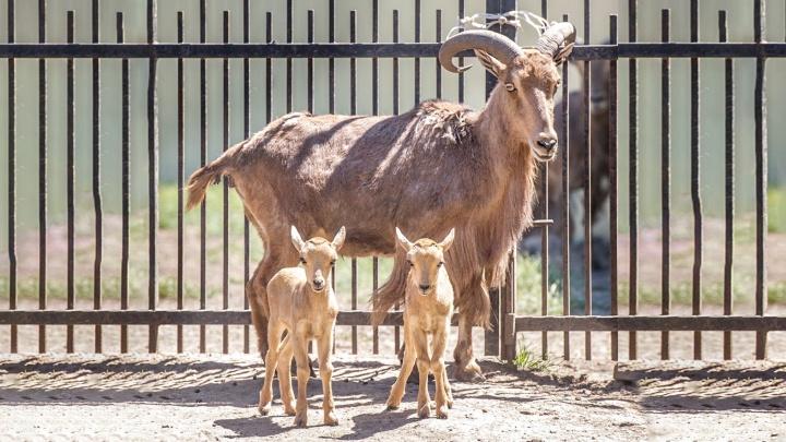 В июне в Ростовском-на-Дону зоопарке родились детеныши у песцов, ланей и гривистых баранов